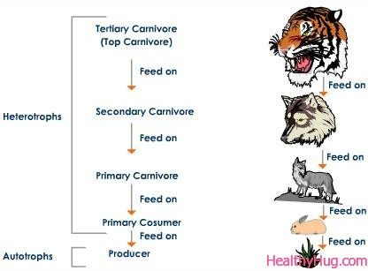 Tiger Food Chain Diagram